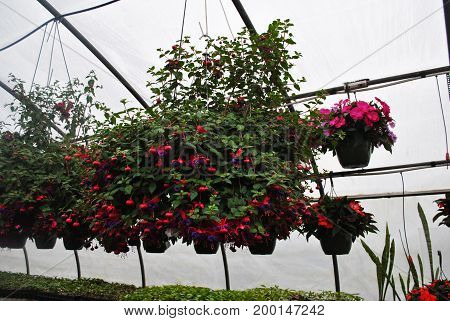 Pink and Purple Fuschia Hanging Plants in the Greenhouse