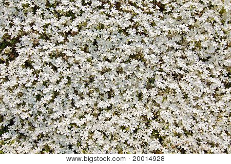 Small White Flowers Background