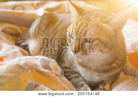 tabby fat cat lying on bed in house