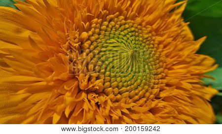 Beautiful yellow flower with a green core. Macro photography.