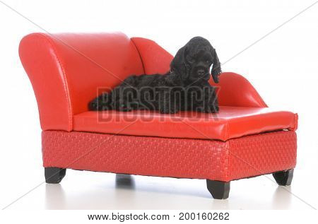 cute cocker spaniel puppy laying on a red leather couch