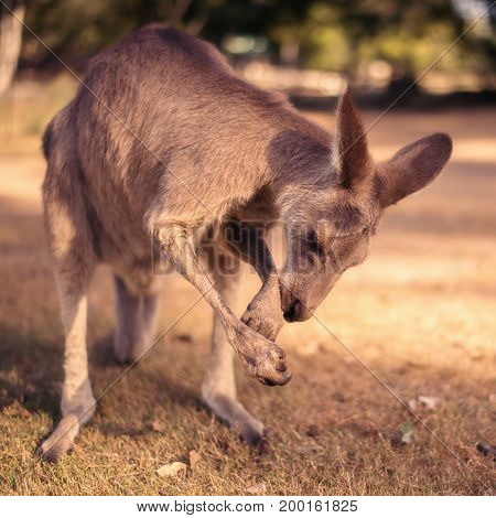 Kangaroo Outside During The Day
