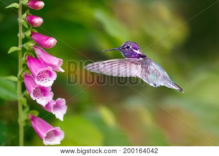 Hummingbird with flowers of purple foxglove over green summer background