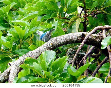 This majestic bird perches on the branches of a tree in the Amazon jungle