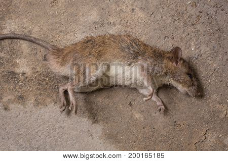 a mouse dead on dirty floor image