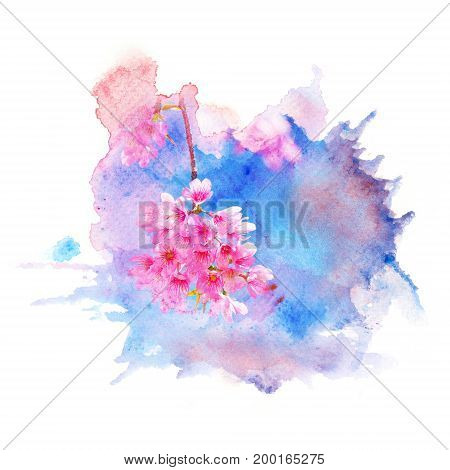 Watercolor painting illustration of wild himalayan cherry blossom. Artistic floral abstract background.