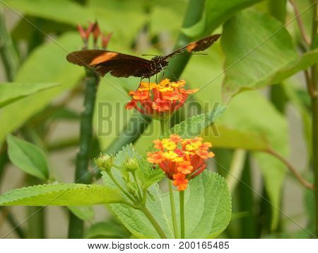 An exotic butterfly, of striking colors stands on a flower in the amazon forest