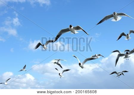 Seagulls flying in the blue sky with clouds