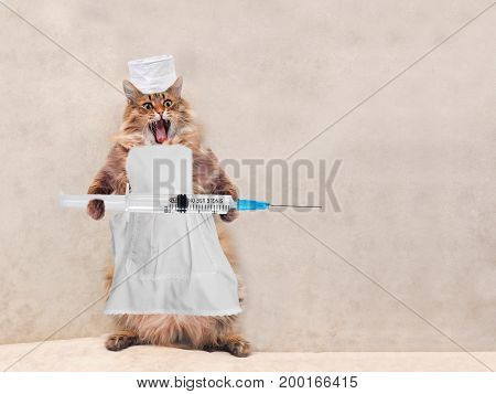 The Big Shaggy Cat Is Very Funny Standing.concept Of Medicine 8