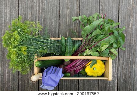 Dill, beets with attached greens, cucumbers, squash, garden gloves and a garden tool in a wood and wire basket from above. The hod is on weathered wood planks.