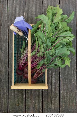 Beets with greens attached, lavender garden gloves and a garden tool in a wire and wood basket. Photographed on weathered wood planks.