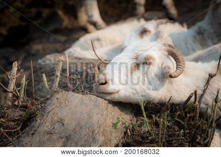 Close up of Nepalese mountain goat sleeping.