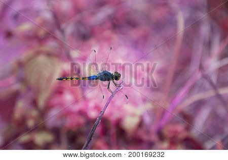 Blue dragonfly art of fantasy The blue dragonfly is on a dry branch with a pink background blurred. Animal fantasy concept.