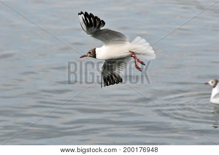 Black-headed gull, bird. Black-headed gull in flight.
