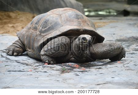 Aldabra giant tortoise in a zoological garden