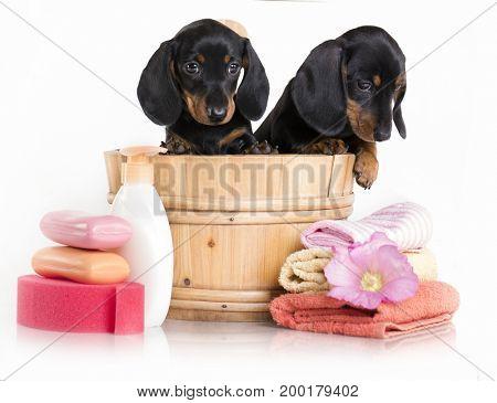Dachshund  dog in wooden wash basin