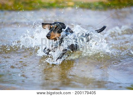 The dachshund is bathed in the lake, jumps over the water with a spray