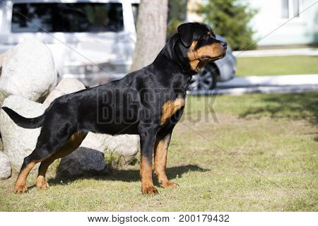 Rottweiler dog with undocked tail standing on the grass