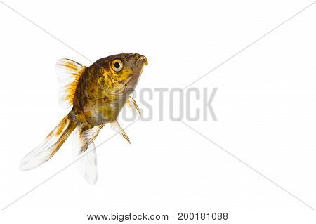 Goldfish close-up isolated on a white background