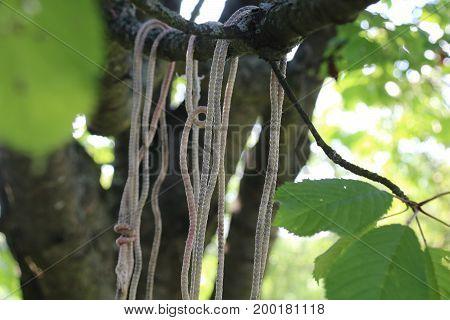 Rope around tree trunk, rope with knot around tree.