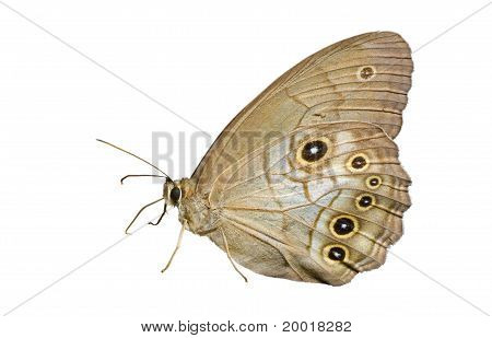 Butterfly (lethe)
