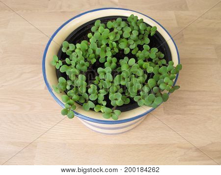 Young green herbs seedlings in flower pot