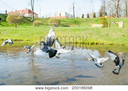 A flying dove over a river in a park on a sunny afternoon