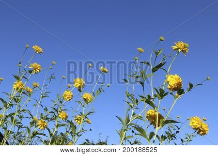 Yellow Flowers Rudbeckia - Golden Ball - On A Blue Background Of A Clean Summer Sky