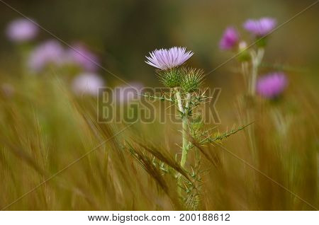 Wild thistles in bloom amidst the grasses