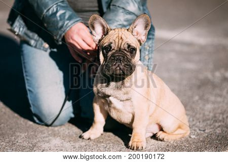 French Bulldog Dog Puppy In Park Outdoor. Popular Breed of Dog