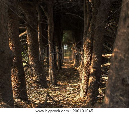 Coniferous forest floor with natural light. Mysterious path.