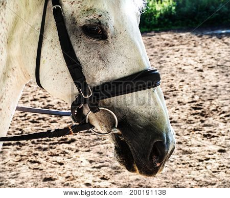 Beautiful head of a white horse. Thoughtful look