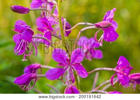 Chamaenerion angustifolium or Epilobium angustifolium, or Koporye tea - perennial anti-inflammatory medicinal plant. Ancient medicinal plant - to treat prostate, cancer and the neuroses.