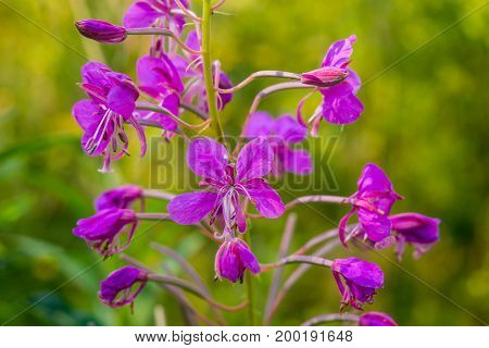 Chamaenerion angustifolium or Epilobium angustifolium, Koporye tea - anti-inflammatory medicinal plant. Ancient medicinal plant - to treat prostate, cancer and the neuroses.