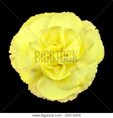 Little Yellow Rose Isolated On Black