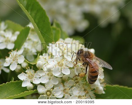 Honey Bee On Pyrocantha