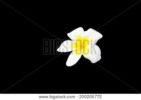 Plumeria flower white -yellow isolated on black background and clipping path ( Common name pocynaceae Frangipani Pagoda tree Temple tree )