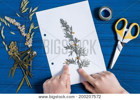 Girl makes herbarium of medicinal plants. Dry plant of wormwood (Artemisia absinthium) is attached to piece of paper. Concept of education and alternative medicine