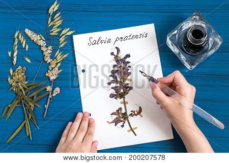 Girl makes herbarium of medicinal plants. Girl writes latin name on sheet with dry plant of sage meadow (Salvia pratensis). An old pen with ink is used. Concept of education and alternative medicine