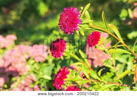 Autumn red asters on a blurry background of the garden. Selective focus