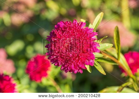 Autumn red aster on a blurry background of the garden close-up. Selective focus