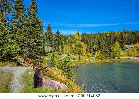 Magnificent noble deer with branched horns resting by the lake. Golden Autumn in Canada.
