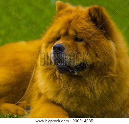 Chow chow dog. Beautiful dog chow-chow in the park