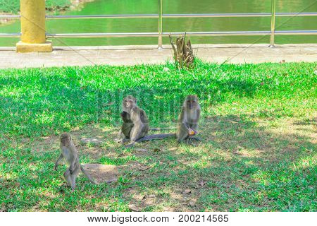 three monkey sit and stand on the grass with copy space add text