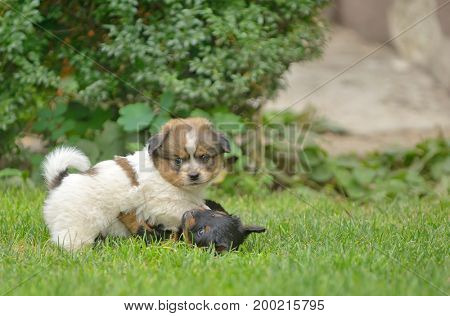 Cute pekingese puppy dogs play on grass