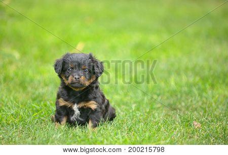 Cute pekingese puppy dog on grass