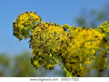 Wildflowers of fennel with swarm of small flies