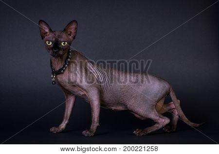 Black sphinx portrait cat on dark background at studio
