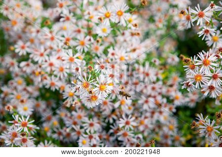 Field of autumn flowers, the Aster ericoides with honey bees, background with selective focus
