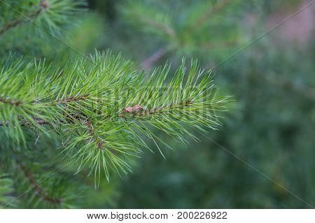 Fir Tree Branch Close Up. Shallow Focus. Fluffy Fir Tree Brunch Close Up Copy Space.